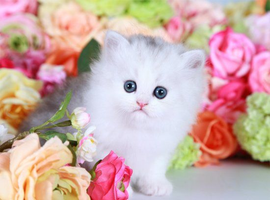Teacup Persian Kitten For Sale Persian Kittens For Sale Persian