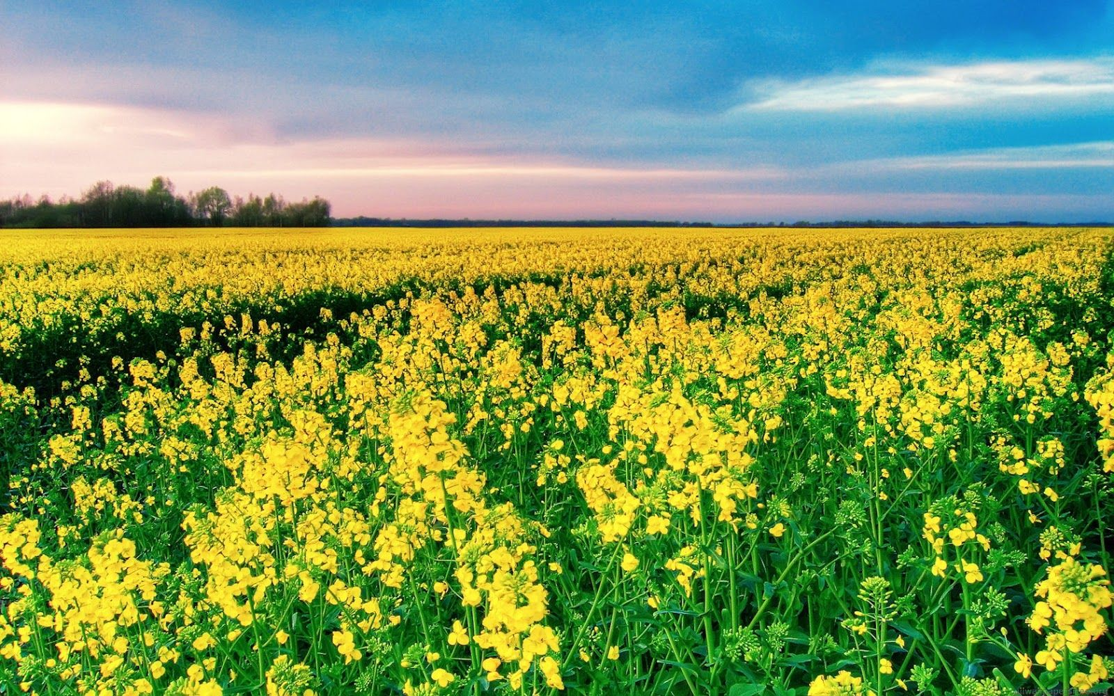 Flowers Of Mustard Sarso With Images Field