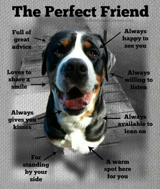 Pin By Jennifer Gerard On Service Dogs Greater Swiss Mountain Dog Dog Rash Swiss Mountain Dogs