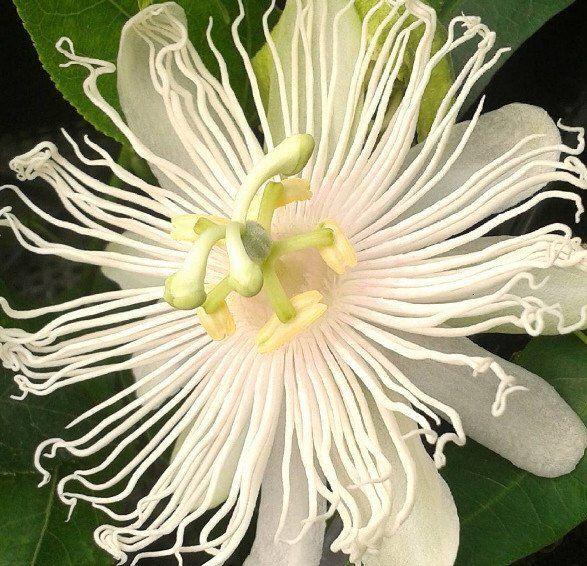 Passiflora Incarnata Alba Supernova Passiflora Passion Flower Plant Passion Flower