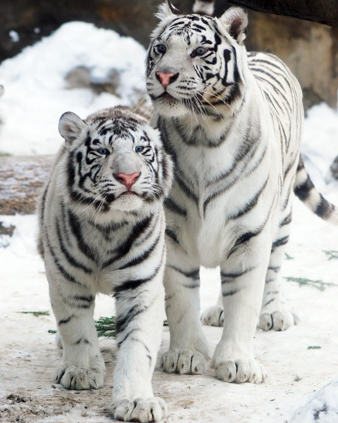 500+ Tigers images in 2020 | wild cats, animals wild, big cats