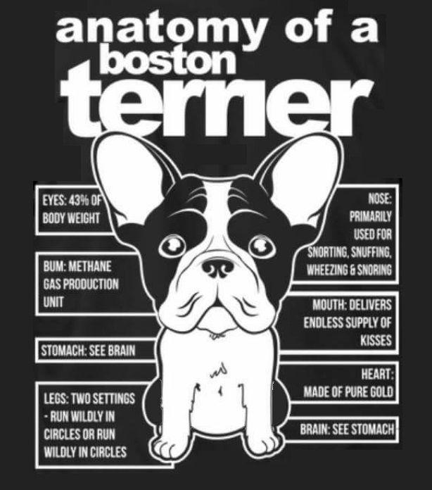 Anatomy Of A Boston Terrier Boston Terrier Pug Boston Terrier