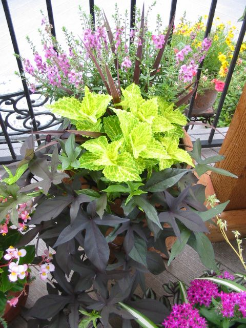 Angelonia 'Serena' Series - lavender Cordyline (red) Sun Coleus (lime green) 'Blackie' Sweet Potato Vine