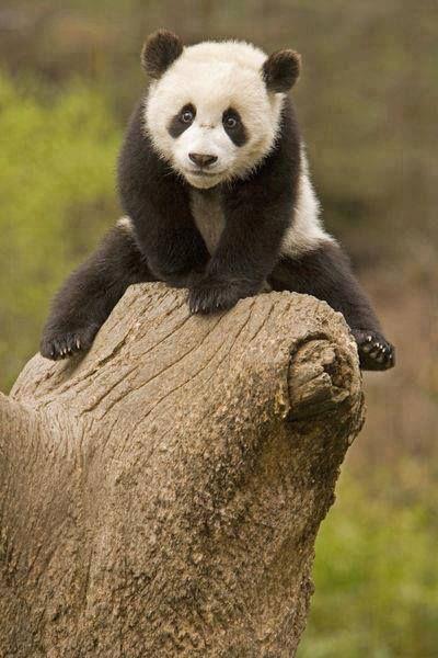 Wolong Panda Reserve China Baby Panda On Top Poster Zazzle Com