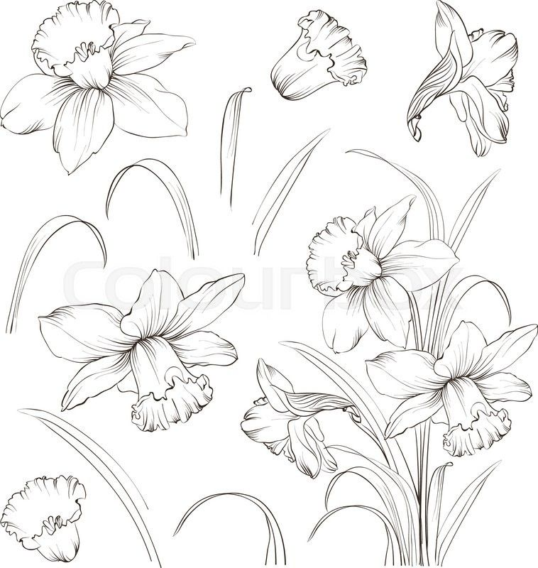 Stock vector of 'Set of line drawing narcissus. Daffodils