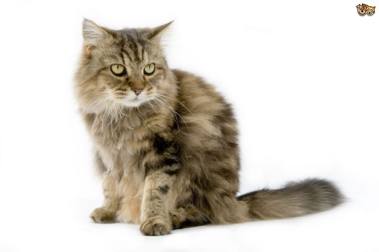 The top 8 largest domestic cat breeds Pets4Homes