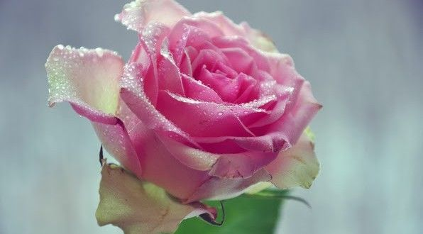 Single Pink Rose Pink Rose Single Free Wallpaper Downloads