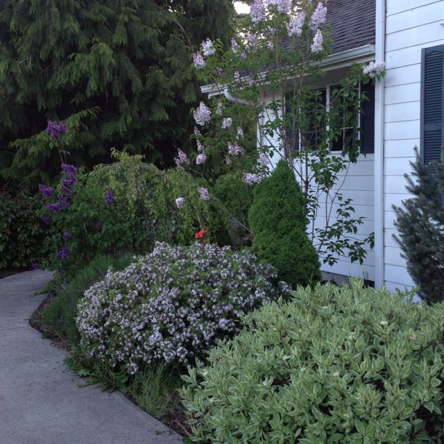 Pin By Cathy Richardson On Plants For Front Back Lilac Bushes Landscape The Great Outdoors