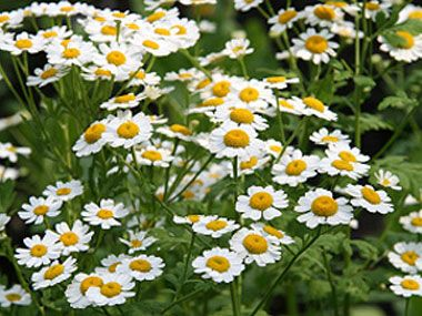14 Medicinal Herbs You Can Grow Medicinal Herbs Healing Plants Feverfew