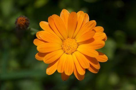 Pflanzenportrait Ringelblume