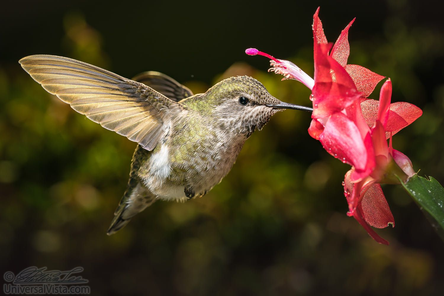 Hummingbird and her favorite red flower by William Lee on