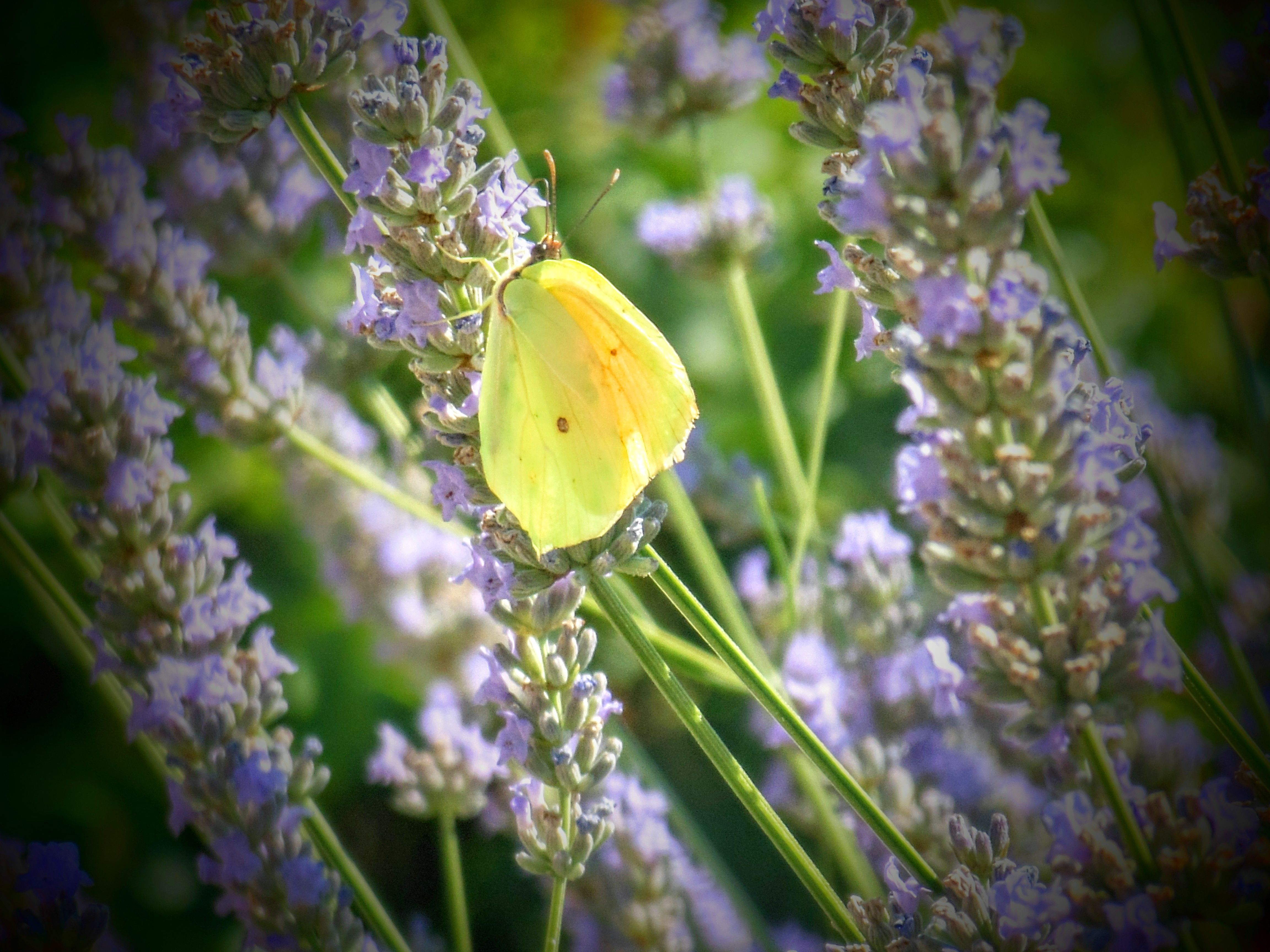 """petit paillon , """"citron"""" dans la lavande du jardin"""
