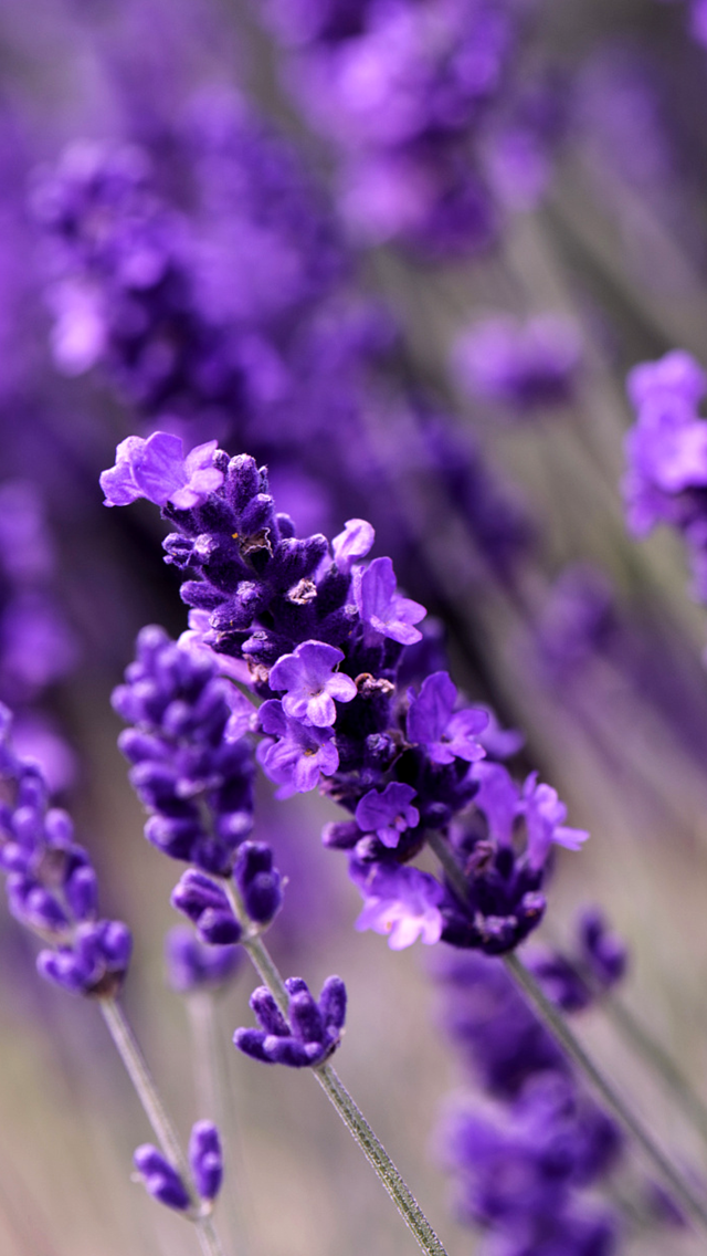Lavender Flowers. Awesome Collection of Flower iPhone Wallpapers. Tap to see! - @mobile9 # ...
