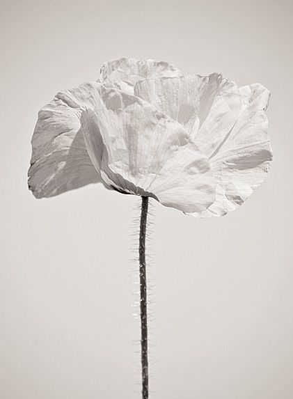 White Poppy Flower Schwarz Weiss Fotos Blumen Zum Zeichnen Weisse Blumen