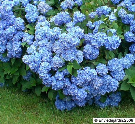 hortensia bleu en bretagne savez vous planter des choux pinterest. Black Bedroom Furniture Sets. Home Design Ideas