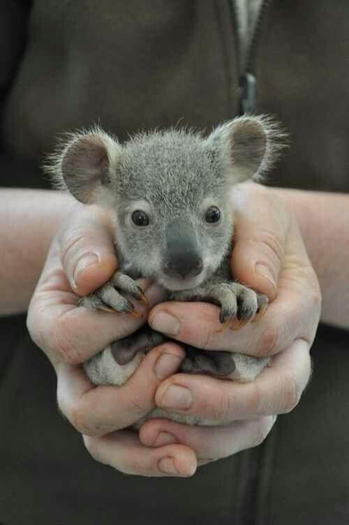 Baby koala ^_^