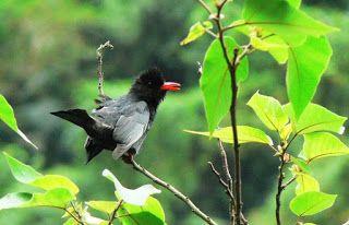 البلبل الاسود Black Bulbul Birds Animals Bird