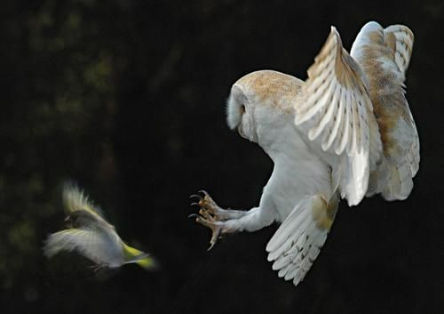 barn owl hunting bird