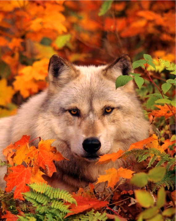 wolf in the woods, posted via gsfrenchshabbylife.tumblr.com