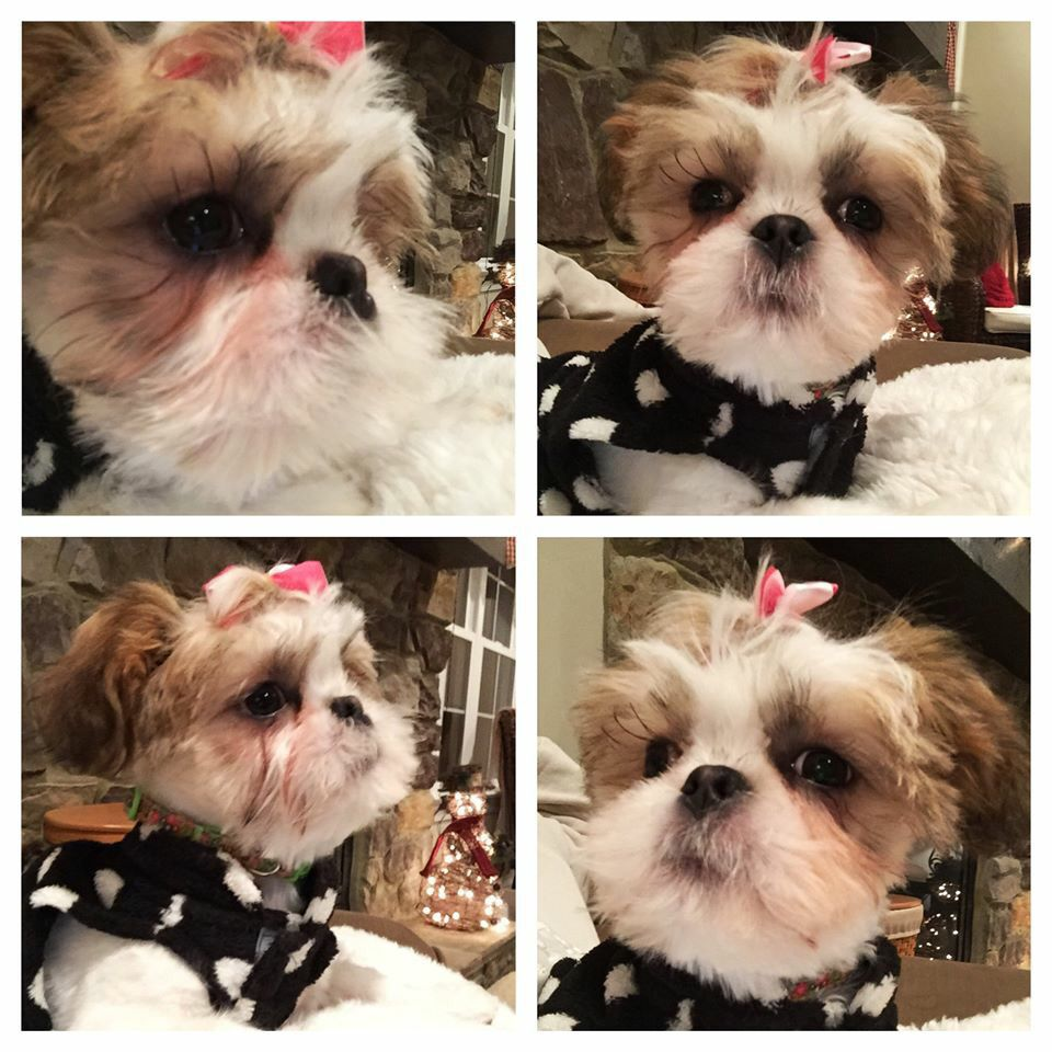 Piccadilly Shih Tzu Shih Tzu Puppy Imperial Shih Tzu