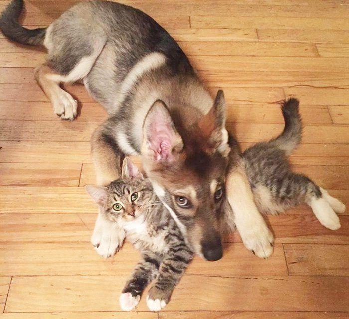 Este Husky fué a un refugio y eligió su propio gato de compañía ¡Hermoso!