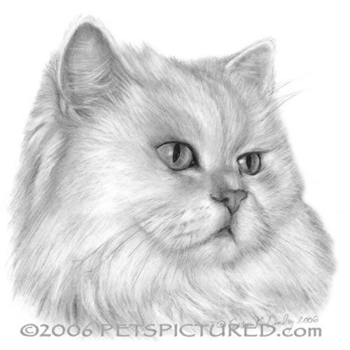 Cat Drawing Kitten Drawing Persian Cat Drawing Persian Cat White