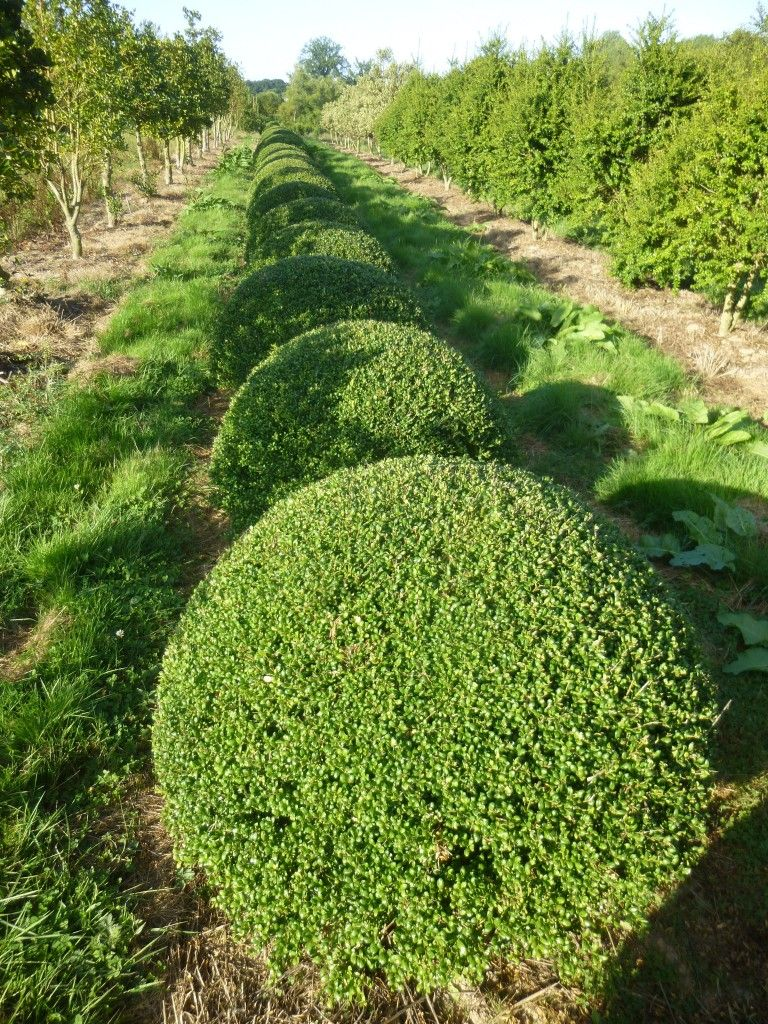 ilex crenata convexa fast growing evergreen shrubs. Black Bedroom Furniture Sets. Home Design Ideas