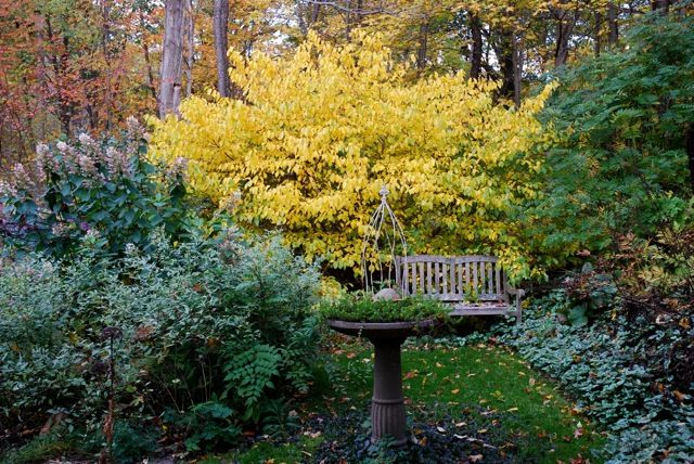 forsythia alternatives pt. 2: spicebush