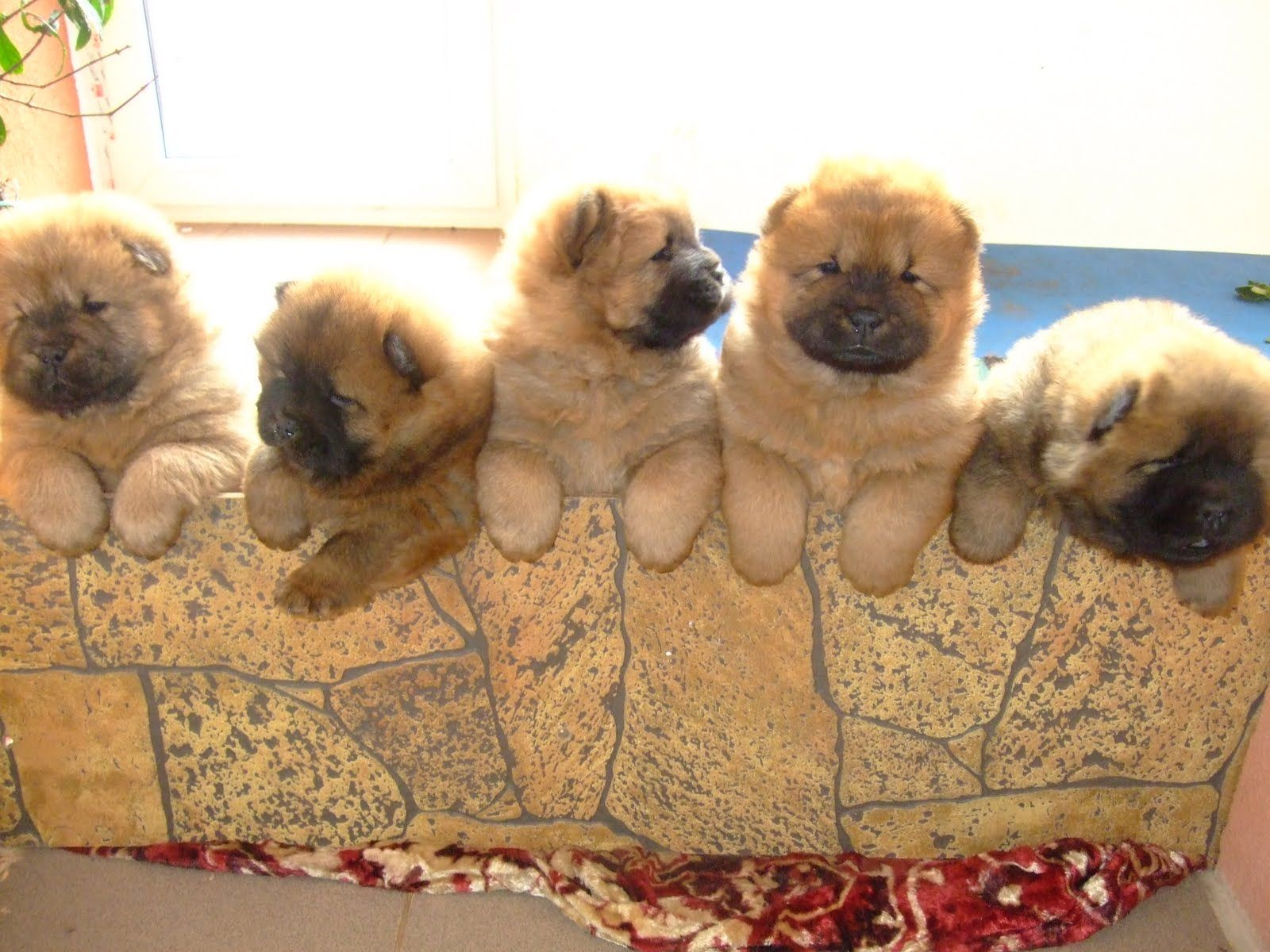 Image Detail For Baby Chow Chow And Adult Chow Chow Posing For