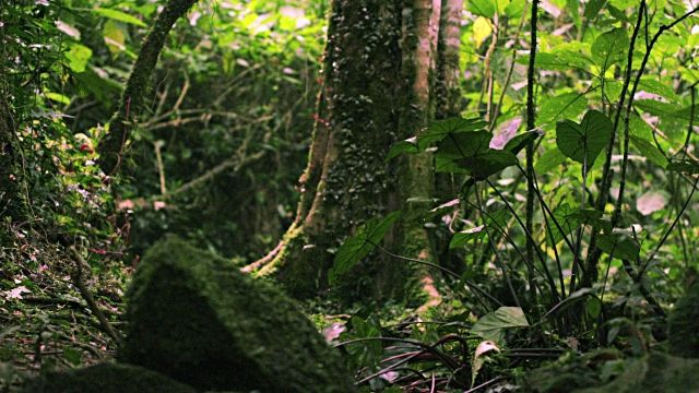 Footage tilting down a group of moss-covered rocks on a forest floor in Kenya.