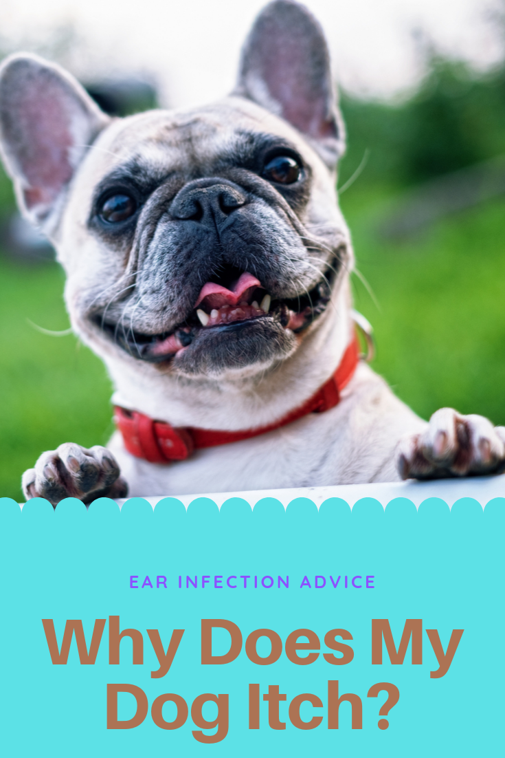 Why Does My Dog Itch? Ear Infection Advice Dog training
