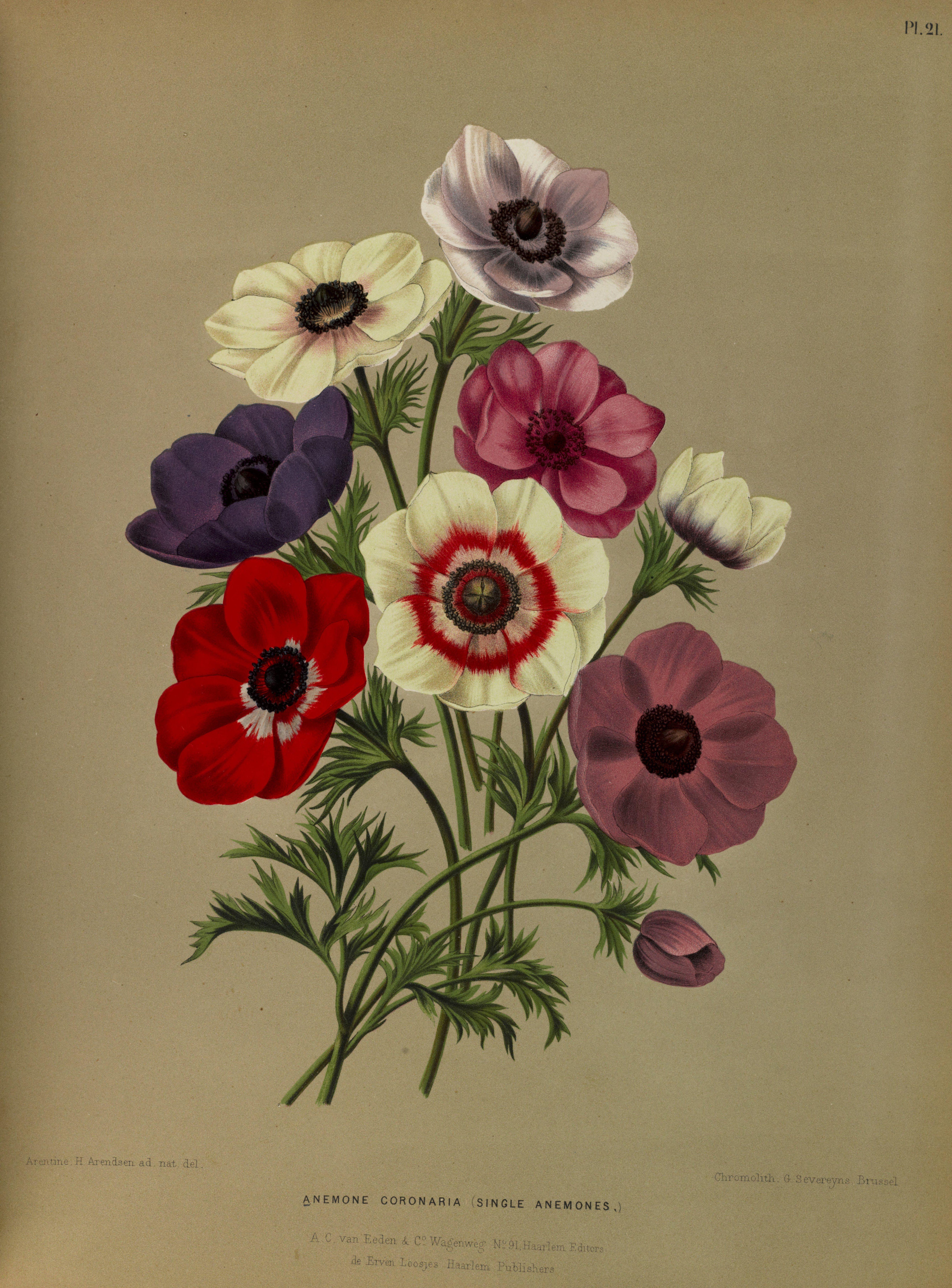 Anemone Coronaria Circa 1881 Baby Girl Name Realistic Flower Drawing Flower Illustration Flower Art