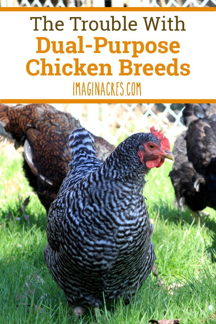 The Trouble with Dual Purpose Chicken Breeds is part of Chicken breeds, Chickens, Chickens backyard, Baby chicks raising, Homestead chickens, Chicken feed - A dualpurpose chicken is a type that can produce both eggs and meat  This sounds efficient, but there is a downside  Be sure to consider the trouble with raising dualpurpose chickens