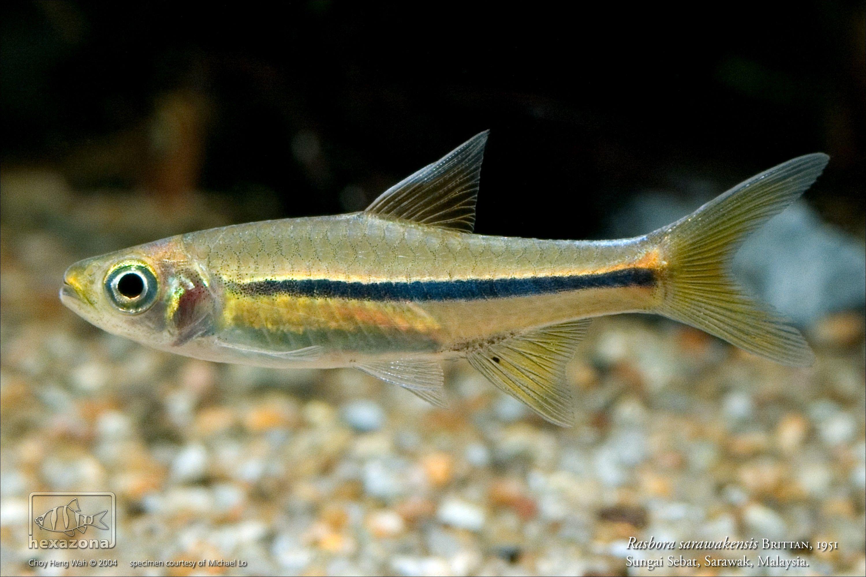 Rasbora Sarawakensis Aquarium Fish Tropical Fish Fish Pet