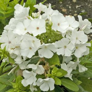 Buy Phlox Shorty White Perennial Plants Online Garden Crossings