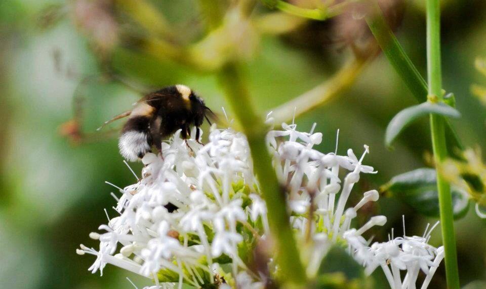Bee on top of Greencastle Castle