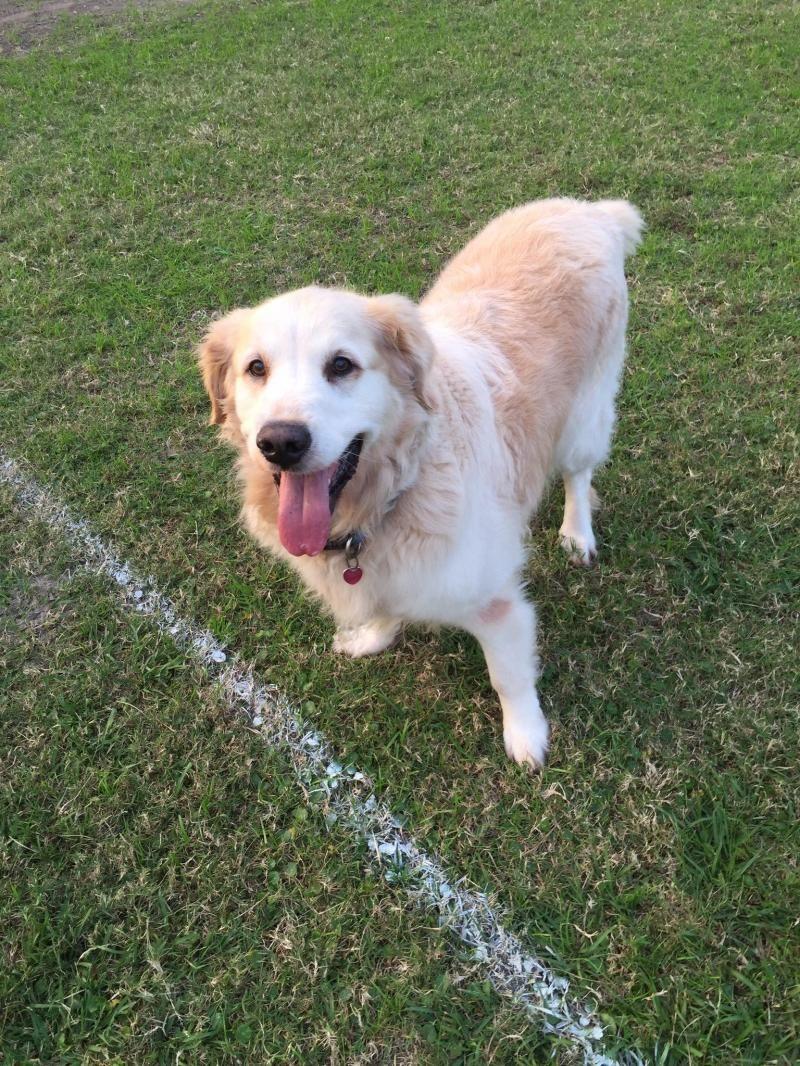 Adopt Sampson on Petfinder Dogs golden retriever, Golden