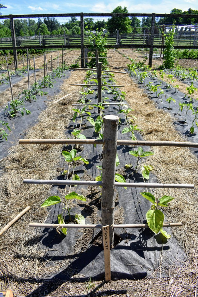 Here Is Our Eggplant Bed Eggplants Are Prone To Falling Over When Heavily Laden With Fruit So Supporting The Growing Eggplant Garden Yard Ideas Pepper Plants
