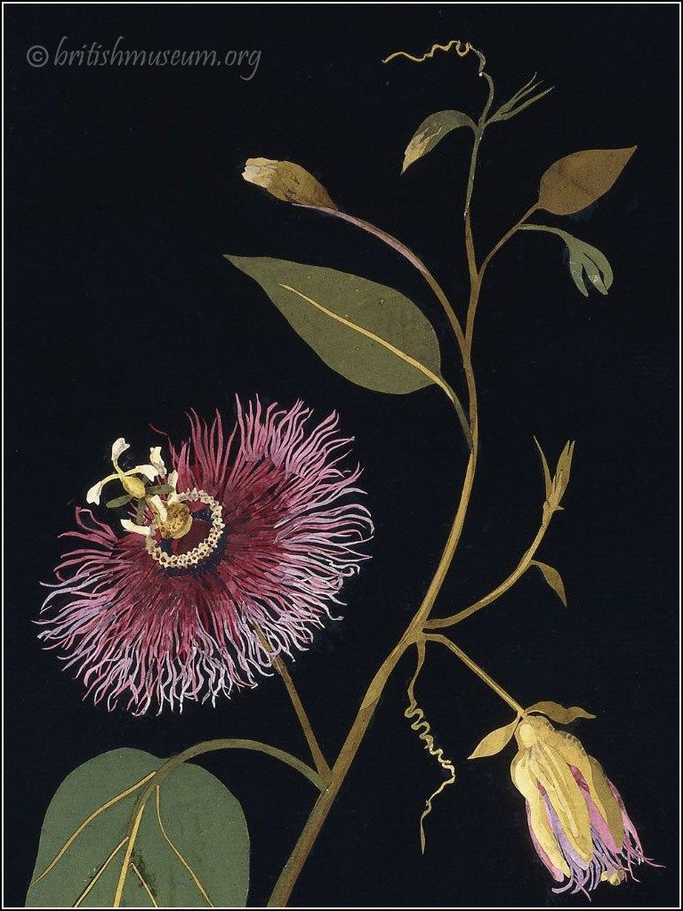 Passion Flower By Mary Delany 1777 Botanical Collage Botanical Art Passion Flower