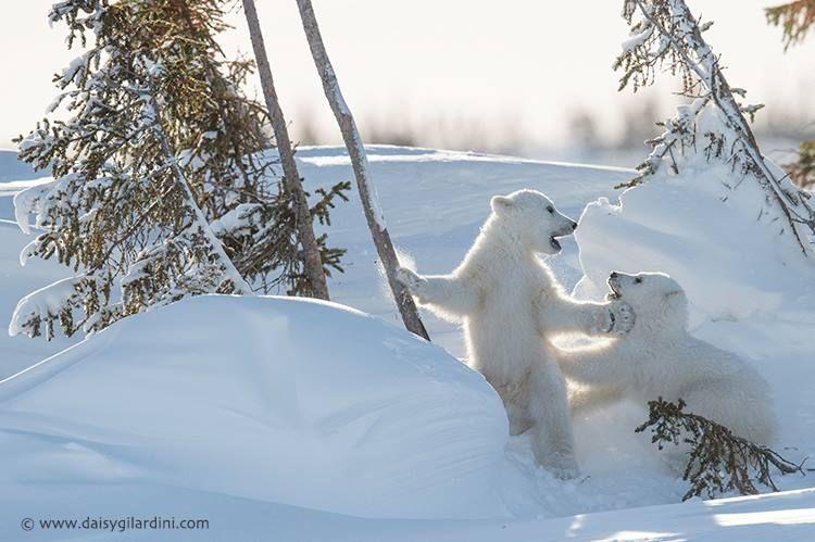 Preciosos ositos polares, fotografiado por Daisy Gilardini, en el Parque Nacional de Wapusk, Manitoba (Canadá), vía Facebook.