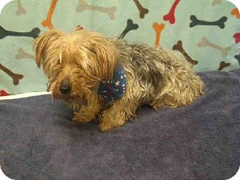 Upper Marlboro Md Yorkie Yorkshire Terrier Meet Boochie A Dog For Adoption Pets Animal Shelter Kitten Adoption