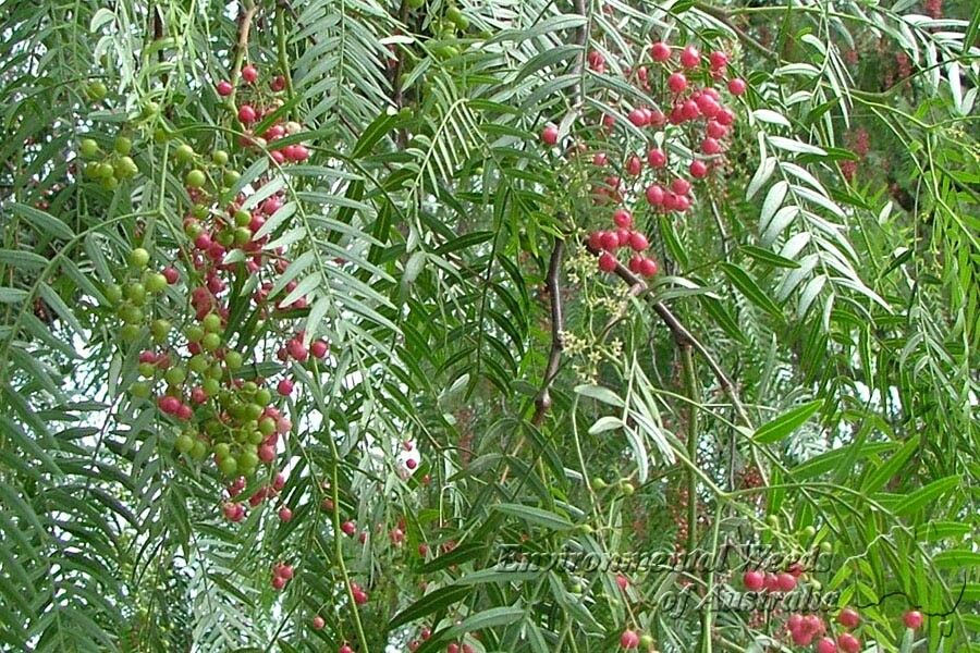 Peppercorn tree