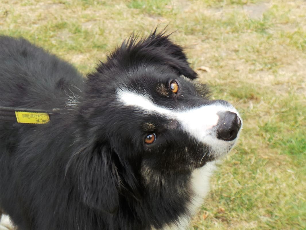 Adopt A Dog Bruce Border Collie Dogs Trust Dogs Dog