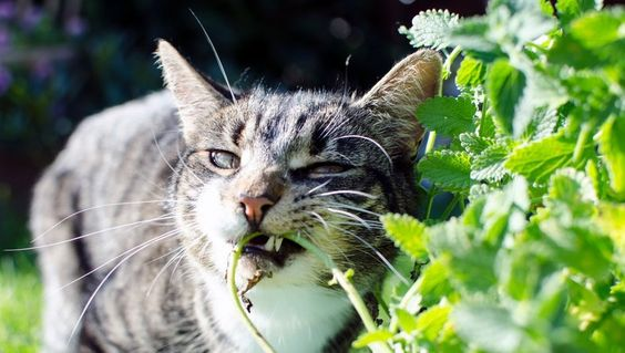 Why Does My Cat Eat Plastic Mosquito repelling plants