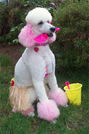 Take me to the beach  Pink and white poodle