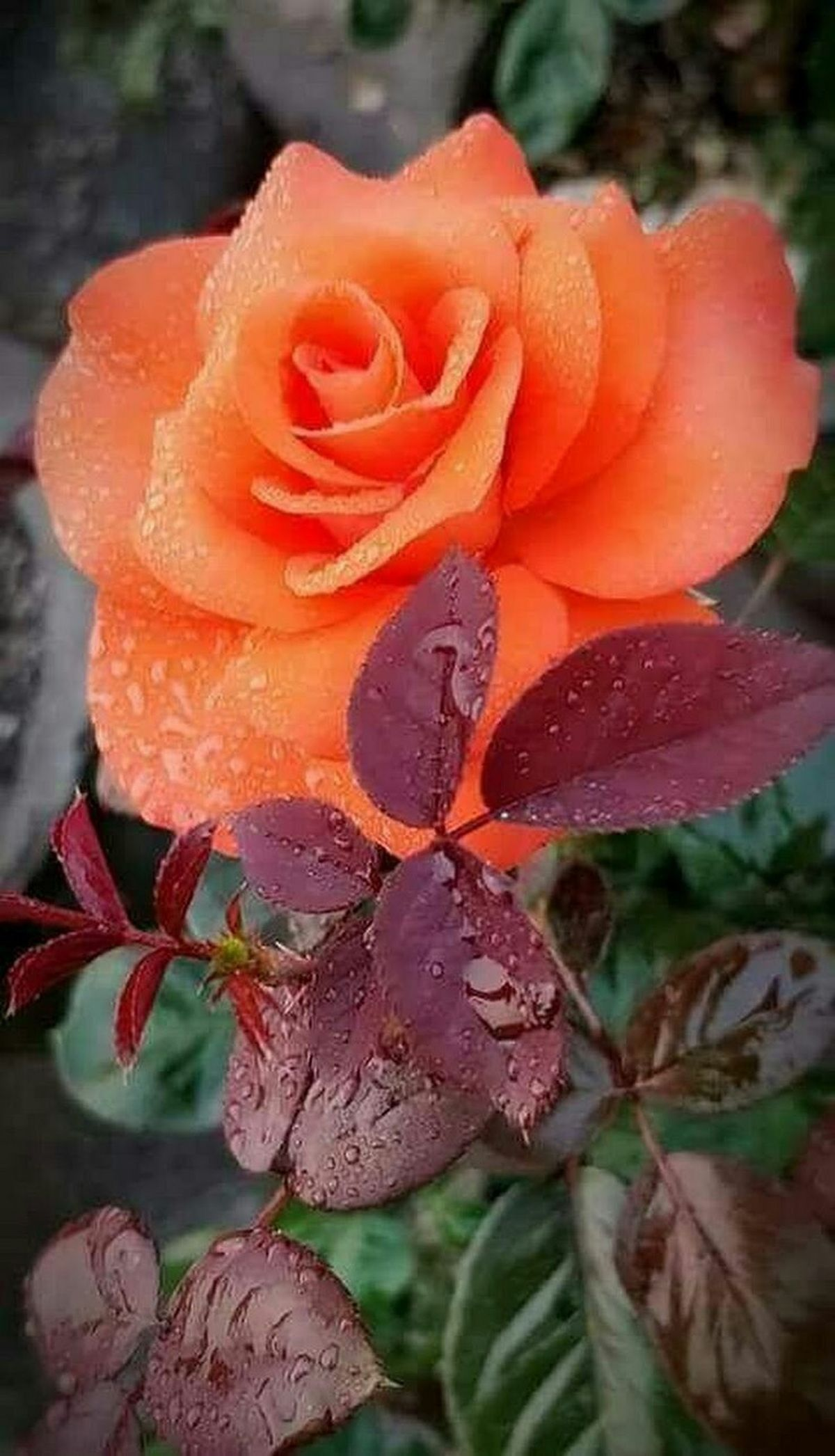 Pin By Ann Page On Roses Pinterest Flowers Flowers Garden And