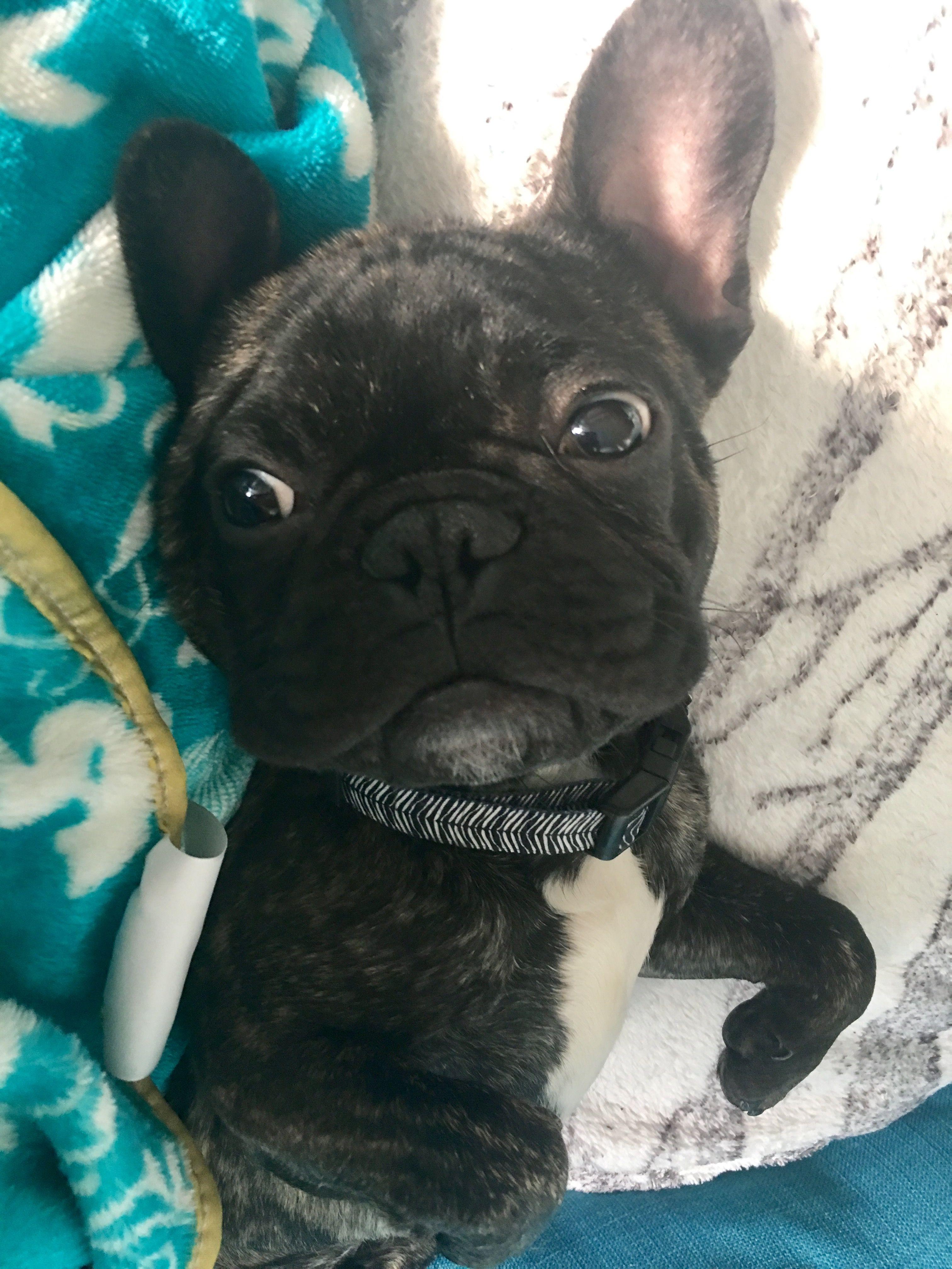 French Bulldog Mr.Robert frenchie love Brindle french