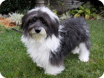 Full Grown Havanese Photos Yahoo Search Results Havanese