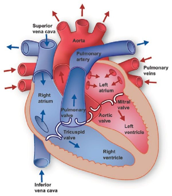 human heart diagram detailed human heart diagram detailed | healt, Muscles