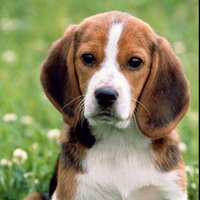 Sweet beagle face!